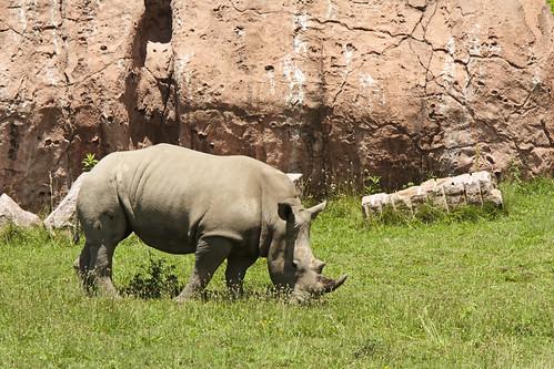 Toronto Zoo - White Rhino