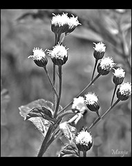 Everything has beauty, but not everyone sees it. (:::. Mnju .:::.) Tags: flower beauty blackwhite wildflower manju