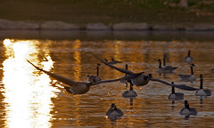 Golden Geese -- Out of the Sun (DCZwick) Tags: lake canada reflection calgary water flying geese alberta canadageese sigma150500 TGAM:photodesk=magicgoldenhour