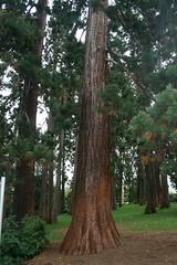 Mammutbaum / Redwood