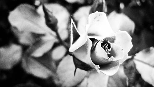 Rosebud b&w