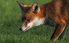 Wary Fox Cub (Dan Belton ( No Badger Cull )) Tags: uk winter red mammal cub eyes leicestershire wildlife coat fox starry loughborough vulpesvulpes nofoxhuntingevercameronyouknob