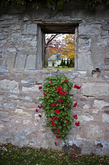 (A Great Capture) Tags: flowers autumn ontario canada fall window grass leaves stone wall on queenston ald ash2276 ashleyduffus ald ashleysphotographycom ashleysphotoscom ashleylduffus wwwashleysphotoscom