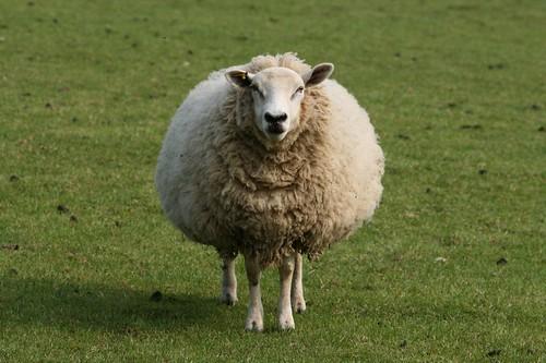 Biig sheep