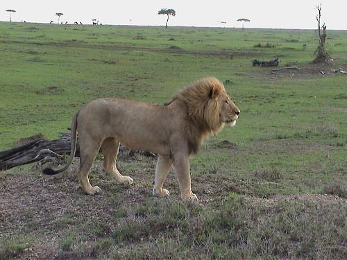 Mara Lion Standing Tall