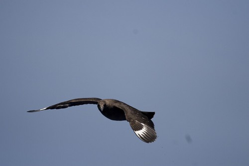 Flying Skua