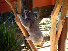 The Only Way Is Up (End of Level Boss) Tags: cute animal australian australia koala qld queensland lou marsupial australiazoo 2007  coala    koaala     koal      hayopngkoala  gingaithucchu