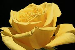 Marilyn's Rose (TakenByTina) Tags: fab rose yellow marilyn excellence excellenceinfloralphotography mywinners abigfave diamondclassphotographer flickrdiamond ysplix
