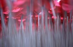 London089 (tristan.sibbille) Tags: flower london londres kenzo coquelicots
