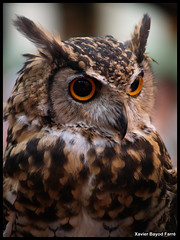 Mackinder's Eagle Owl (Xavier Bayod) Tags: animal animals fauna tiere eagle olympus raptor ave owl xavier animalia tier bubo rapaz buho e500 capensis xbf bayod mackinder mussol rapinyaire xavierbayod xavierbayodfarr