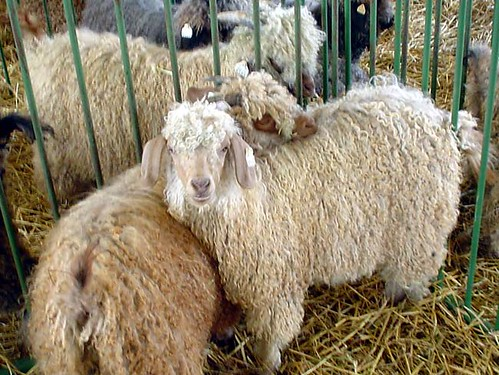 Angora Goat Sisters