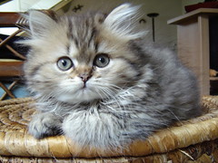 Hi :-) (catherine.caf) Tags: cat persian kitten chat chaton persan kittysuperstar kissablekat bestofcats kittyschoice excapture