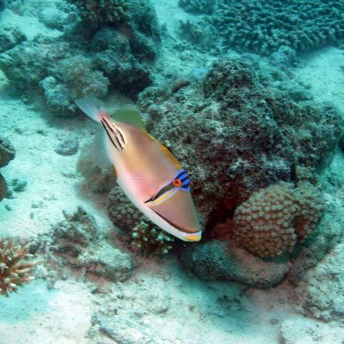Triggerfish #4