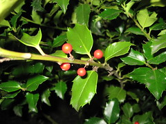 Holly bush (?)