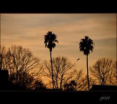 I have worked with God (gicol) Tags: sunset sky italy rome roma tree bird colors silhouette clouds arbol italia tramonto nuvole palm uccelli explore amanecer pajaros cielo albero palma frontpage ocaso nubi