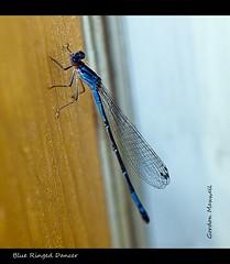 Blue Ringed Dancer 9 (G. Maxwell) Tags: macro olympus e3 zuiko damselflies 50mmf20macro flickrgolfclub