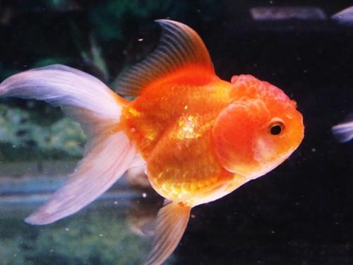 IMG_0782 Gold Fish