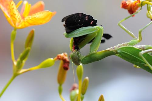 螳螂捕蝶 023