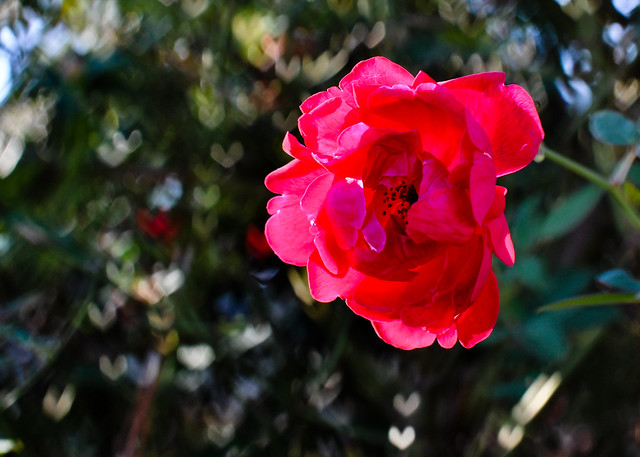 Rose {heart bokeh}