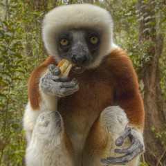 Sifaka eating baguette