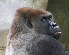 DSC02580 (! ~ Pawpaw Snwman ~ ! Away.) Tags: nature animals zoo texas gorilla sony ape dfw dslr fortworth a100 fortworthzoo sonya100 dslra100 sonyalphadslra100 sonydslra100 alphadslra100 frhwofavs
