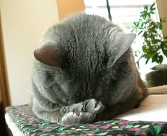 Sleepy Simba (TubaOrNotTuba) Tags: sleeping cute cat grey feline crash gray adorable catnap sleepy snooze paws asleep simba ilovemycat furryfriday snore russianblue facepalm conkedout rescuedpets favorites50 views1500 interestingcat cat1000 bestofcats
