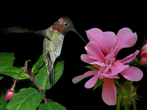 COMPOSITE HUMMINGBIRD & SUNDAY`S FLOWER2