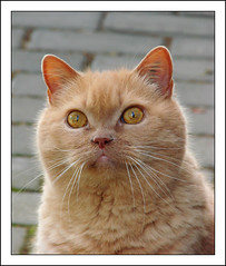 Titan (cats_in_blue) Tags: cats cat kitty titan britishshorthair cc100 abigfave bestofcats photofaceoffgold boc0807 camfnov08 storybookwinner