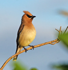 Cedar Waxwing (In beautiful evening light!) - by Rick Leche