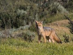 Patagonian Fox (David Thyberg) Tags: chile patagonia 2004 nature animal nikond70 wildlife fox torresdelpaine predator 80200mmf28d culpeo impressedbeauty pseudalopexculpaeus patagonianfox lycalopexculpaeus