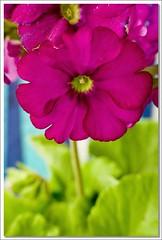 Hello again! (..felicitas..) Tags: flores flower macro canon interestingness mr flor gap explore primula cr 1839 felumolina interestingness300 i500 masterphotos aplusphoto explore5aug2007 felicitasmolina