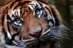 Look into my golden eyes (tammyjq41) Tags: tiger soe zooatlanta blueribbonwinner supershot specanimal animalkingdomelite mywinners anawesomeshot colorphotoaward impressedbeauty ultimateshot diamondclassphotographer