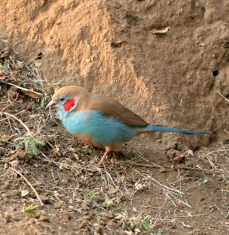 red-cheeked cordon bleu profile
