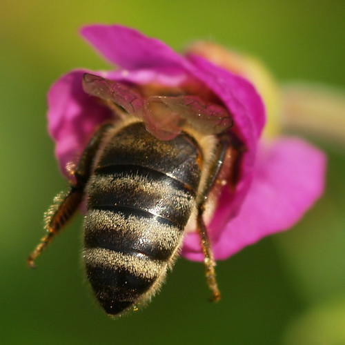A honey bee searching in a newly opened flower of a willowherb.