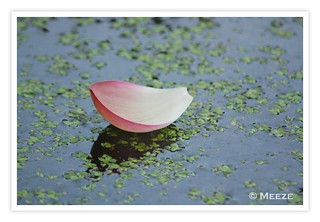 Floating Petal