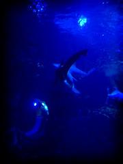 Shark in the Blue Lagoon (thadd) Tags: blue swimming underwater kentucky ky newport jaws sharks newportaquarium