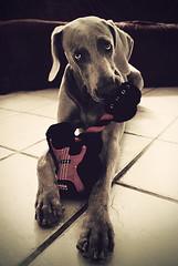 my guitar hero (saikiishiki) Tags: dog playing motion silly cute love girl look rock toy star eyes hands funny play guitar awesome weimaraner hero kawaii ear paws nibble 2010 1952 weim mukha 52weeksfordogs 52weeksofmukha actionsbyapplesandsistersandwoahthanksguys