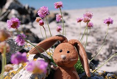 Rabbit in the sea pinks (Rabbitroundtheworld) Tags: travel summer flower rabbit bunny beach toy scotland sand mascot mull plushy seapink ardlanish rabbitroundtheworld