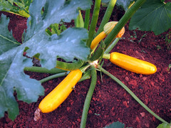 golden dawn squash ready to pick