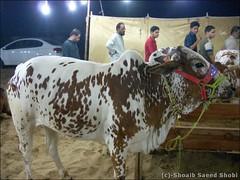 A cattle at Cattle Market, Karachi (Shoaib Saeed Shobi) Tags: animals cow superhighway qurbani cattles sohrabgoth maweshimandi