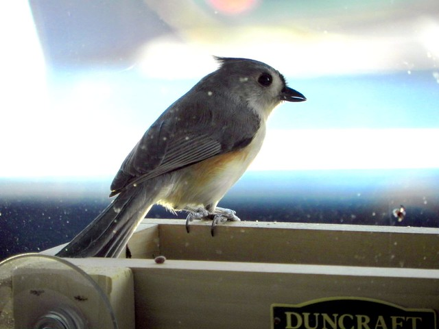 Tufted Titmouse side view