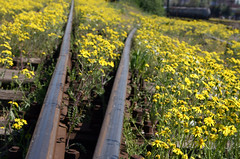 Railway Tracks (sonofsteppe) Tags: railroad flowers summer urban stilllife plant floral station yellow spring track hungary pattern bright steel empty budapest perspective rail railway line explore simplicity flowering simple sparse diminishing blooming sonofsteppe pusztafia mv rkos