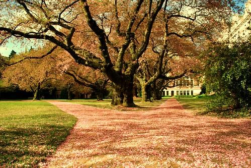 Cherry blossom at UW Quad