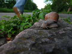 The speed of life (Steffen und Christina) Tags: closeup germany europa europe snail strase baden mannheim nahaufnahme badenwrttemberg weinbergschnecke deuschland kurpfalz randstein rheinneckardreieck rhineneckardelta