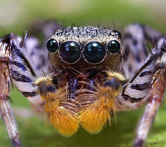 Bizarre Dimorphic Jumping Spider Face - (Maevia inclemens) (Thomas Shahan) Tags: macro eye bug insect 50mm prime spider jumping eyes close asahi pentax arachnid prey reversed fangs dslr ist smc bellows dl opo macrophotography palps f17 terser opoterser