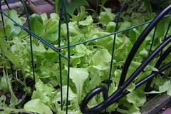 heatwave lettuce mix