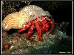 p52010231jpgry3.jpg (coismarbella) Tags: mergulho dive scuba diving buceo submarinismo tauchen plonge crustaceos cnidarios