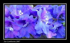 Beauty in Blue (susie 1) Tags: blue beautiful pretty mauve lovely stamins novideo abigfave frhwofavs flowershare naturewatcher thatsbostin cupflowers