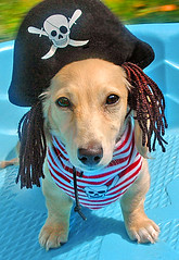Arrghhhhh! (Doxieone) Tags: blue dog cute english fall halloween pool up hat puppy costume interestingness long cream dachshund explore honey final pirate blonde getty exploreinterestingness pup bandana haired pup1 mostpopular 2007 coll ggg 1002 longhaired final1 honeydog topfavorite explored creamcolored abigfave englishcream impressedbeauty 38736929 56037010708 112310312008 fallhalloween200672008set pupsinpoolset