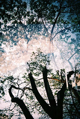 double exposed trees (Clara T S H) Tags: trees film nature silhouette 35mm slim doubleexposure wide fujifilm vivitar ultra 2007 fujicoloursuperia100